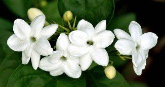bunga-melati_Rita al-khansa