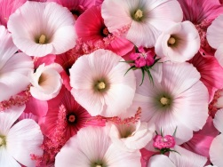 Bunga Romantis Bunga Sepatu Cantik (manisnya iman Rita Al-Khansa)